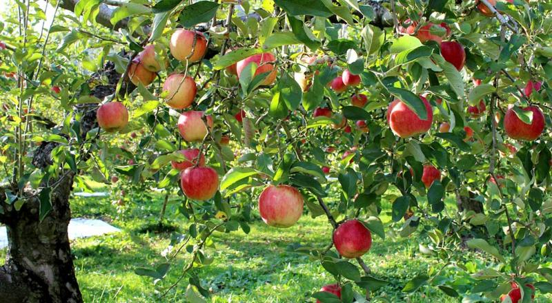 An apple tree full of ripened fruit.